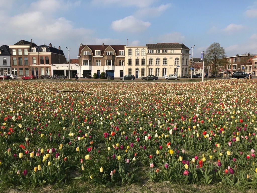 Tijdelijk tulpenveld in Nieuw Delft. Beeld Karin Janssen
